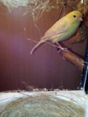 Kanarien Henne, Weibchen