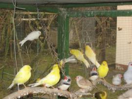 Kanarienvögel Kanarien verschiedene Farbschläge gelb: Kleinanzeigen aus Birkenheide Feuerberg - Rubrik Vögel