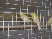 Kanarievögel