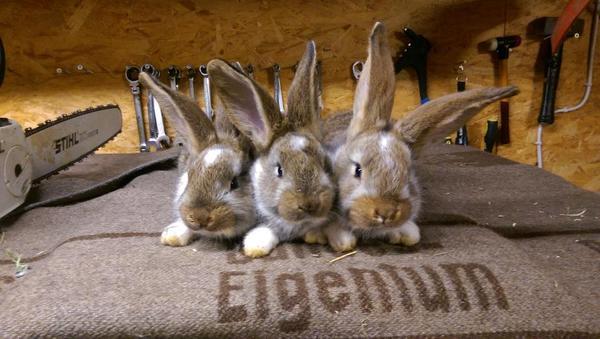 kaninchen und hasen babys in backnang kleintiere kaufen und verkaufen ber private kleinanzeigen. Black Bedroom Furniture Sets. Home Design Ideas