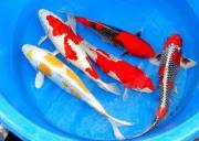 Koi Teichfische Muschel Krebse
