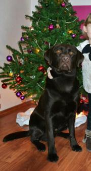 Labrador Deckrüde Schokobraun