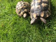 Landschildkröten geb. 2008