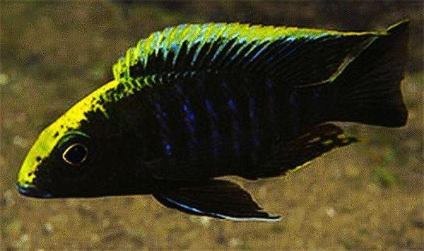 Malawi Aulonocara maylandi maylandi eccels