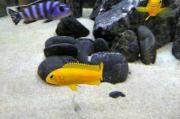 Malawi Weibchen Fische