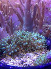 Meerwasser: Korallen, Anemonen,