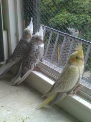 Nestjunge Nyphensittichbabies