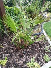 Palme, Chamaecyparis humilis