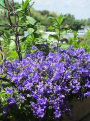 Pflanzen Farn, Ahorn,