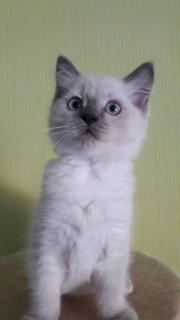 Ragdoll-Mix Katerchen