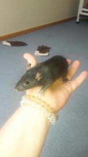 Ratten Buben