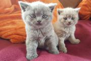 Reinrassige Katzen Babys
