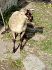 Schwarzkopf Mix Lamm