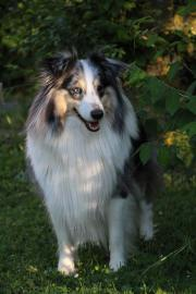 Sheltie Deckrüde in