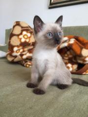Siam Kitten (Seal-