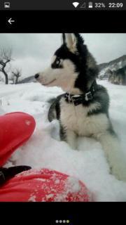 sibirischer Husky 7