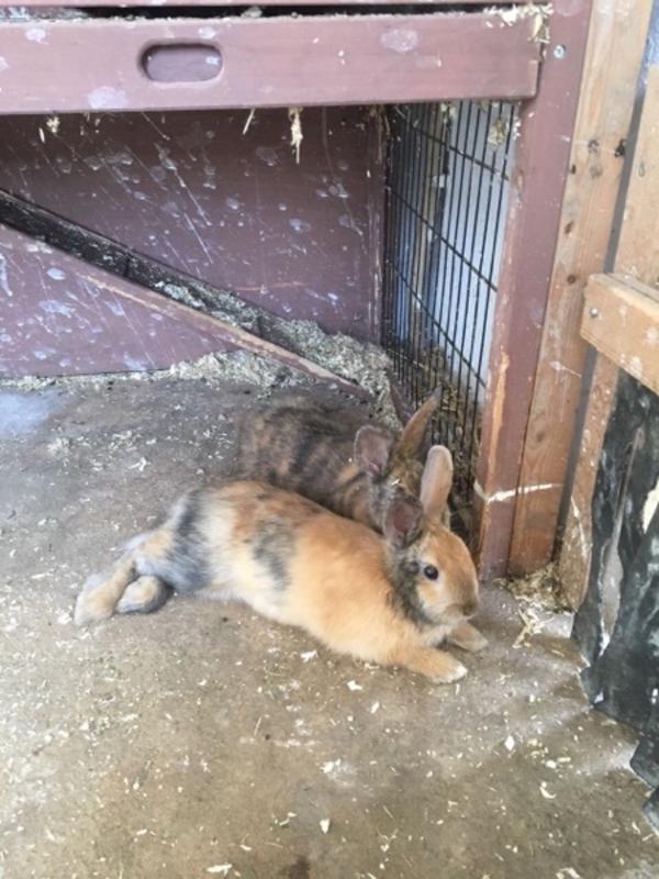stall- zwerghasen mix - Mannheim Käfertal - Kaninchen & Hasen. Habe hier 2 ca. 4-5 monate junge stall-zwerghasen zur abgabe, der schwarze ist ein männchen, das bunte ein weibchen( das vordere auf dem 1. bild). Bei fragen antworte ich schnellstmöglich - Mannheim Käfertal