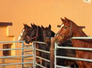 Stallhelfer/Pferdewirt für