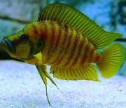 Tanganjika : Altolamprologus compressiceps