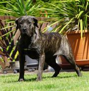 Top Dogo Canario