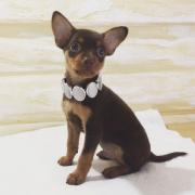 Toy Terrier Junge