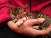 Toyger Kitten abzugeben