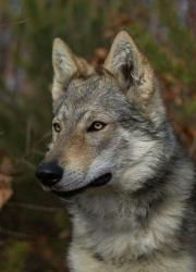 Tschechoslowakischer Wolfhund/WOLFSHUNDWELPEN