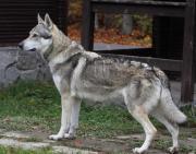WOLFHUND Tschechoslowakischer Wolfshund **