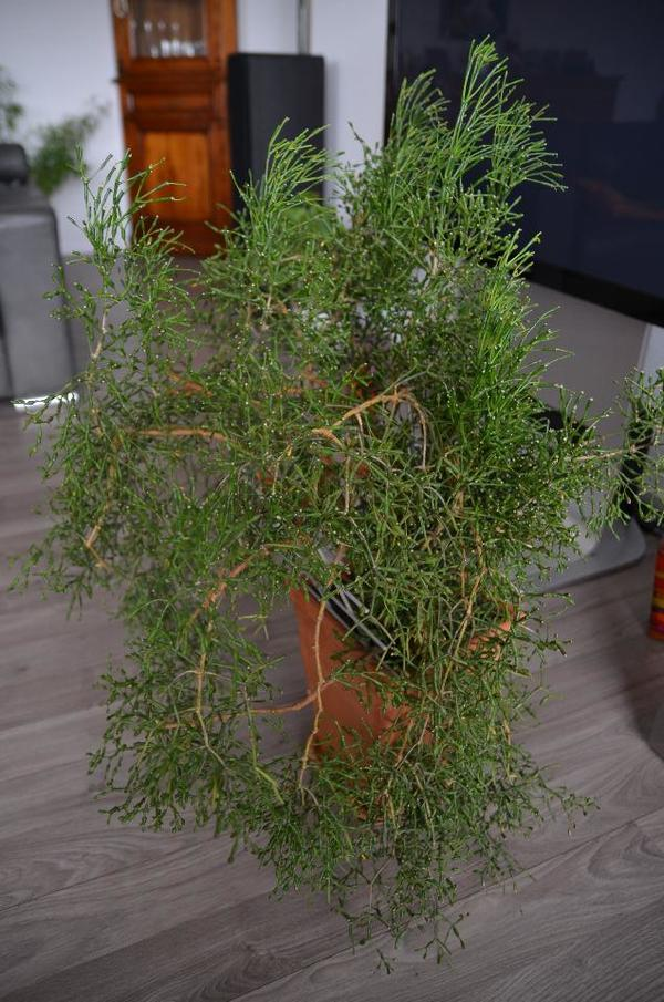 Zimmerpflanzen Groß zimmerpflanze groß angebot in röttenbach pflanzen kaufen