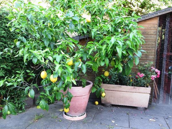 zitronenbaum essbare fr chte in birkenau sonstiges f r den garten balkon terrasse kaufen und. Black Bedroom Furniture Sets. Home Design Ideas