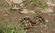zweijährige Landschildkröten zu
